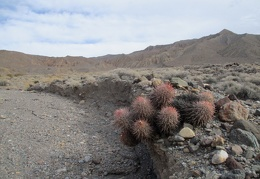 A cottontop cactus invites me into Nova Canyon