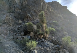 A small Joshua tree grows on a nearby hillside