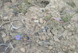 Nearby are a couple of phacelia flowers poking up from the rocks