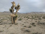 This Joshua tree seems to point in many different directions