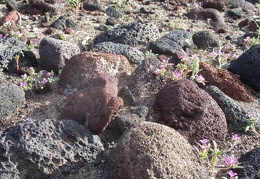 Here's more purple mat blooming between the volcanic rocks