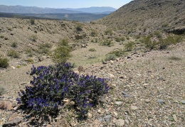 Another indigo bush on the way down Lead Canyon into the Saline Range foothills