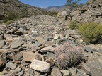 A cottontop cactus stays afloat in lower Lead Canyon's sea of rocks