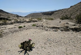 A blooming beavertail cactus welcomes me to Waucoba Wash