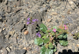 I catch a few phacelia and broad-leaved gilia in the rocks
