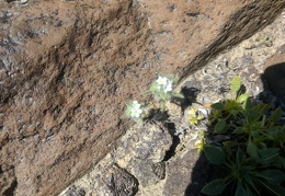 I spy crypantha flowers and desert snapdragon growing in the rocks