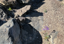 I could easily not notice these phacelia and desert snapdragon flowers