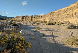 Desert marigolds in Waucoba Wash at sunset
