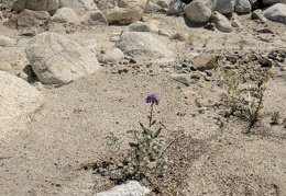 Phacelia and cryptantha flowers manage to bloom here