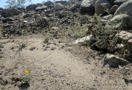 The Mojave poppy is growing next to a dried-up wet spot
