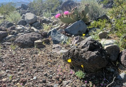 Nice contrast between the Mojave poppy and cactus flowers