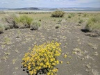 I pass a yellow buckwheat in full bloom after the barren gravel area