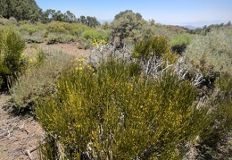 Lots of ephedra growing up here