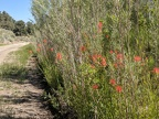 I stop for a look at the tall Indian paintbrush along the road