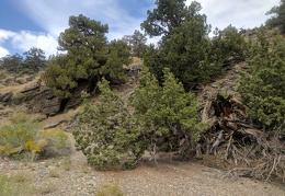 "A downed juniper lays across the ""trail"""