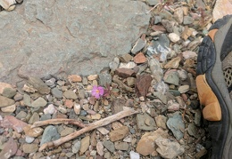 I notice an occasional pink Bigelow's monkeyflower near my feet
