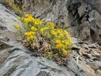 Ericameria goldenbush manages to grow in the rocks here