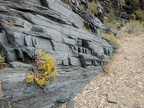 Ericameria goldenbush grows out of the tilted rocks