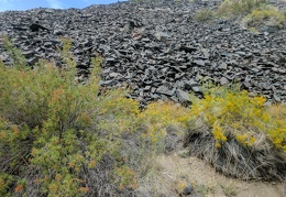 Mesquite and rabbitbrush, siblings in the crumbling rock