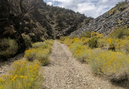 Bright yellow rabbitbrush as I hike back up Bench Canyon