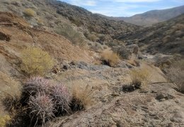Cottontop cactus and yellow rabbitbrush grow amidst the rock here