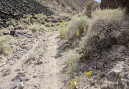 A few prince's plume flowers brighten the rocky landscape