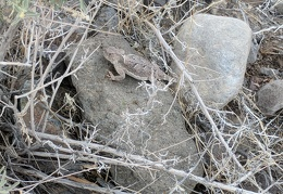 This horned lizard sits quietly, thinking it's invisible