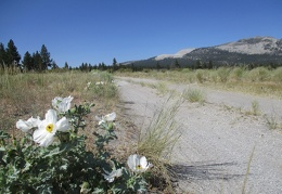Prickly poppies grow along the road