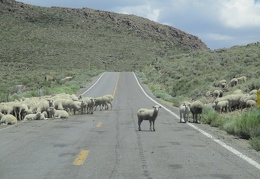 Hmm, there are sheep on the road into Bodie Ghost Town