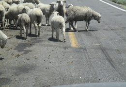 The sheep aren't too concerned about car traffic!