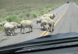 Slowly, the sheep do amble off the road