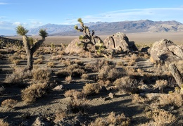 Late in the day, the Joshua trees start to really stand out