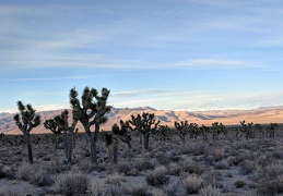 The Joshua trees seem to form lines, but they don't